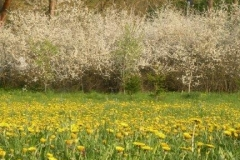 Kirschblüte-und-Löwenzahn-im-EGB-Detail-2