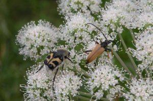 Käfer auf Blüten